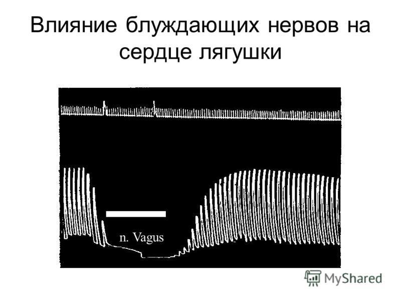Влияние блуждающих нервов на сердце лягушки n. Vagus