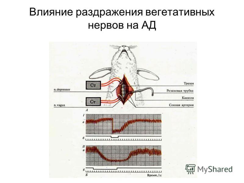 Влияние раздражения вегетативных нервов на АД
