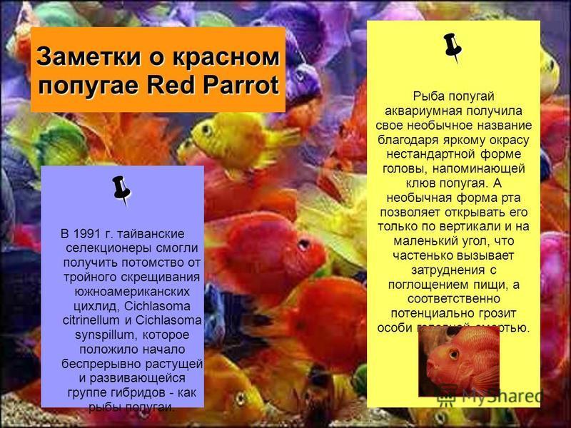 Заметки о красном попугае Red Parrot В 1991 г. тайванские селекционеры смогли получить потомство от тройного скрещивания южноамериканских цихлид, Cichlasoma citrinellum и Cichlasoma synspillum, которое положило начало беспрерывно растущей и развивающ