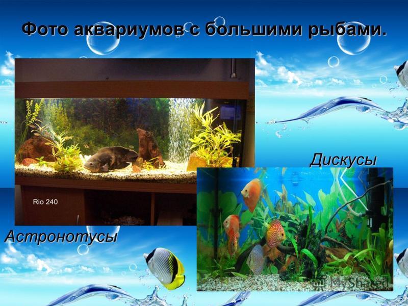 Фото аквариумов с большими рыбами. Астронотусы Дискусы