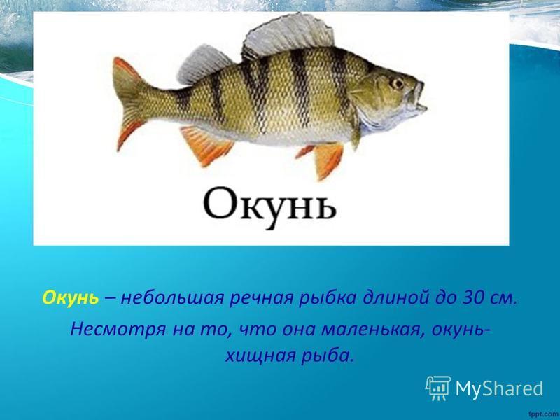 Окунь – небольшая речная рыбка длиной до 30 см. Несмотря на то, что она маленькая, окунь- хищная рыба.
