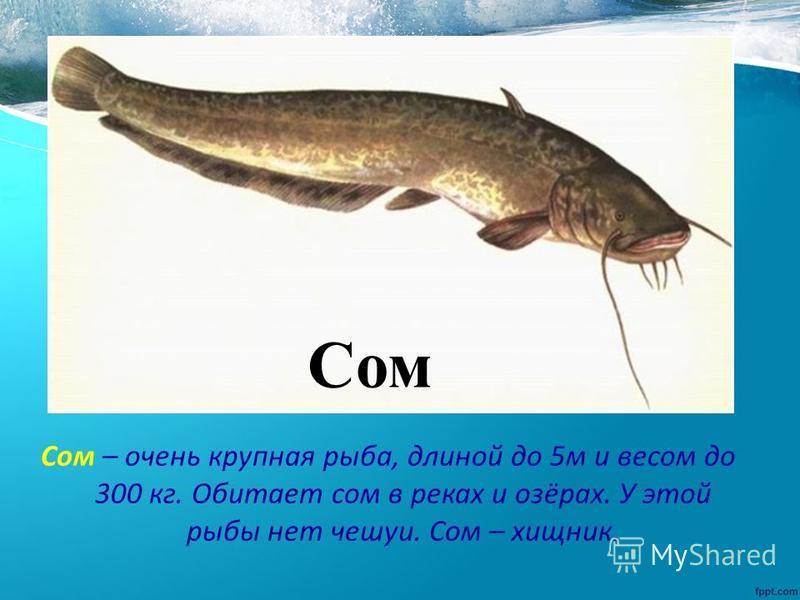 Сом – очень крупная рыба, длиной до 5 м и весом до 300 кг. Обитает сом в реках и озёрах. У этой рыбы нет чешуи. Сом – хищник. Сом