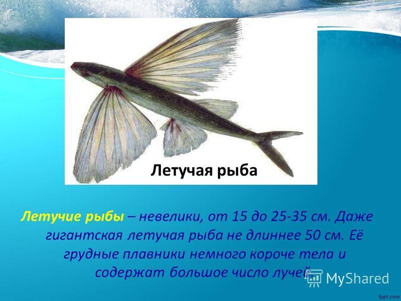 Летучие рыбы – невелики, от 15 до 25-35 см. Даже гигантская летучая рыба не длиннее 50 см. Её грудные плавники немного короче тела и содержат большое число лучей. Летучая рыба