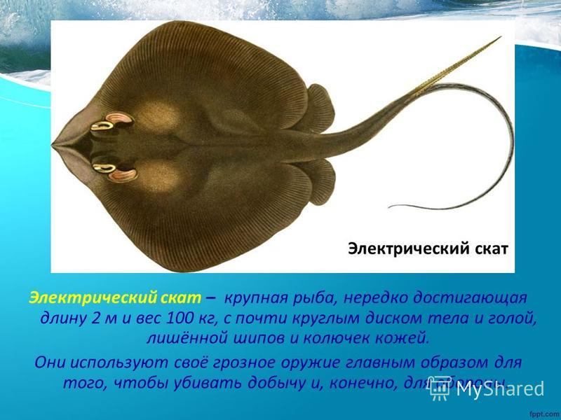 Электрический скат – крупная рыба, нередко достигающая длину 2 м и вес 100 кг, с почти круглым диском тела и голой, лишённой шипов и колючек кожей. Они используют своё грозное оружие главным образом для того, чтобы убивать добычу и, конечно, для обор