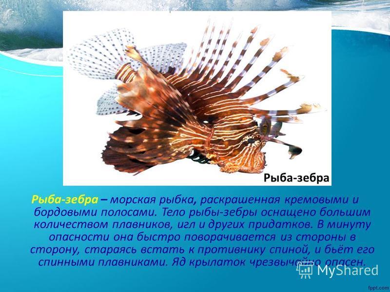 Рыба-зебра – морская рыбка, раскрашенная кремовыми и бордовыми полосами. Тело рыбы-зебры оснащено большим количеством плавников, игл и других придатков. В минуту опасности она быстро поворачивается из стороны в сторону, стараясь встать к противнику с