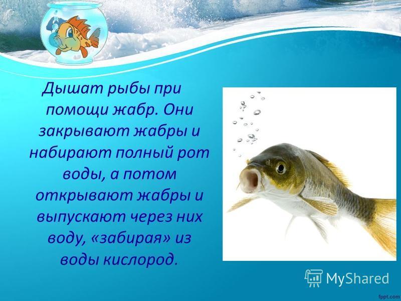 Дышат рыбы при помощи жабр. Они закрывают жабры и набирают полный рот воды, а потом открывают жабры и выпускают через них воду, «забирая» из воды кислород.