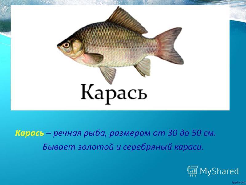 Карась – речная рыба, размером от 30 до 50 см. Бывает золотой и серебряный караси.