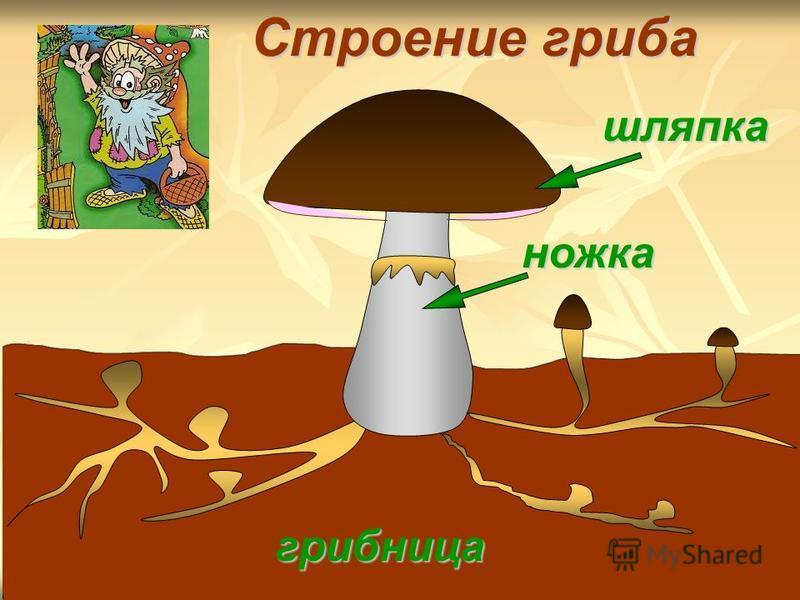 шляпка грибница ножка Строение гриба