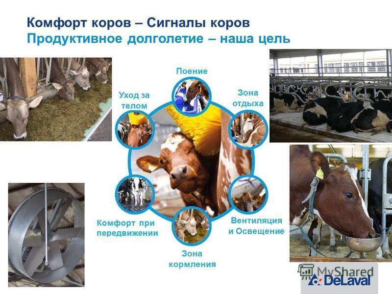 Комфорт коров – Сигналы коров Продуктивное долголетие – наша цель 21 | Cow Comfort
