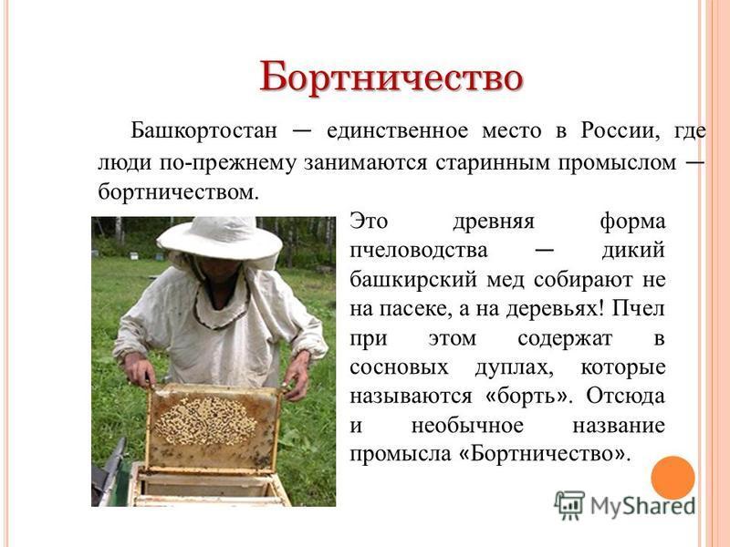 Бортничество Бортничество Башкортостан единственное место в России, где люди по-прежнему занимаются старинным промыслом бортничеством. Это древняя форма пчеловодства дикий башкирский мед собирают не на пасеке, а на деревьях! Пчел при этом содержат в