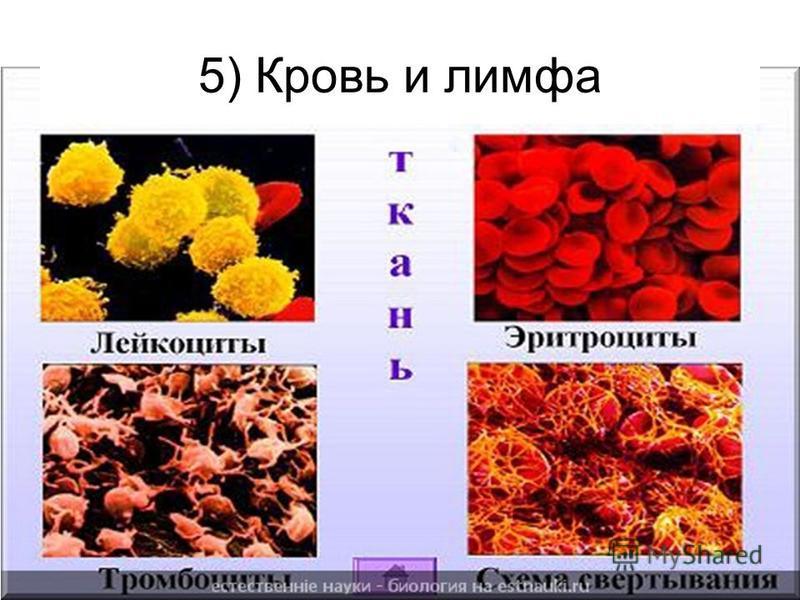 5) Кровь и лимфа
