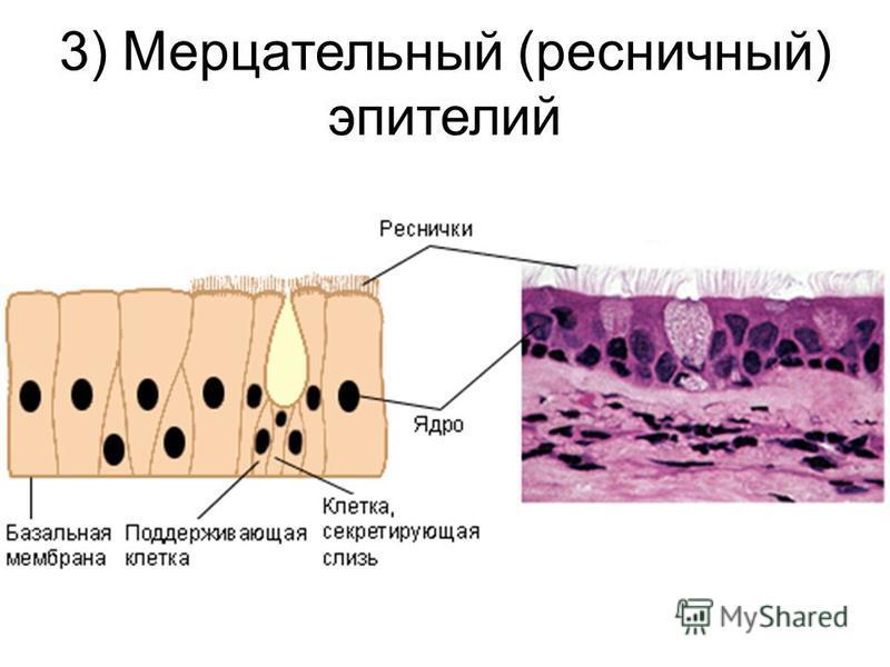 3) Мерцательный (ресничный) эпителий