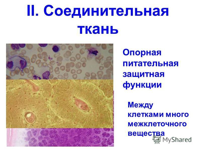 II. Соединительная ткань Опорная питательная защитная функции Между клетками много межклеточного вещества