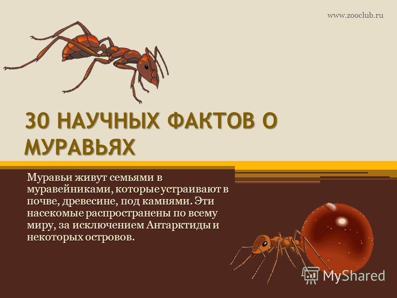 30 НАУЧНЫХ ФАКТОВ О МУРАВЬЯХ Муравьи живут семьями в муравейниками, которые устраивают в почве, древесине, под камнями. Эти насекомые распространены по всему миру, за исключением Антарктиды и некоторых островов. www.zooclub.ru