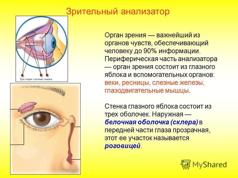 Зрительный анализатор Орган зрения важнейший из органов чувств, обеспечивающий человеку до 90% информации. Периферическая часть анализатора орган зрения состоит из глазного яблока и вспомогательных органов: веки, ресницы, слезные железы, глазодвигате