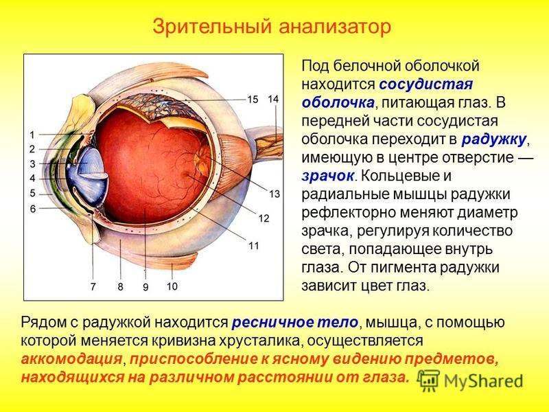 Под белочной оболочкой находится сосудистая оболочка, питающая глаз. В передней части сосудистая оболочка переходит в радужку, имеющую в центре отверстие зрачок. Кольцевые и радиальные мышцы радужки рефлекторно меняют диаметр зрачка, регулируя количе