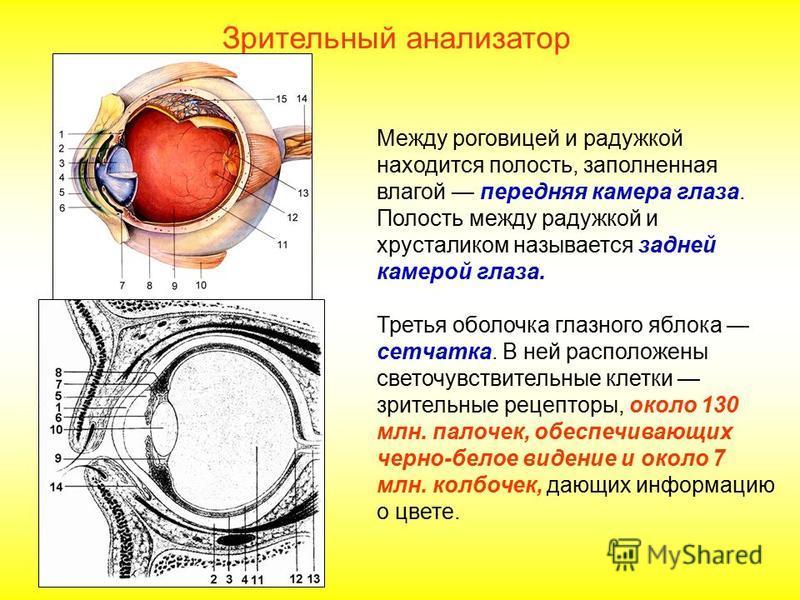 Между роговицей и радужкой находится полость, заполненная влагой передняя камера глаза. Полость между радужкой и хрусталиком называется задней камерой глаза. Третья оболочка глазного яблока сетчатка. В ней расположены светочувствительные клетки зрите