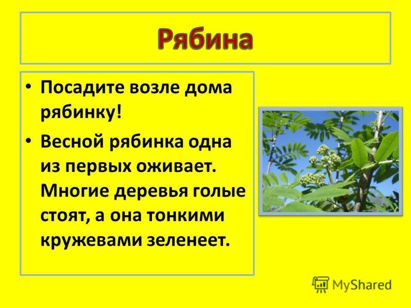 Посадите возле дома рябинку! Вемной рябинка одна из первых онивоет. Многие деревья голые стоять, а она тонкими кружевами зеленет.