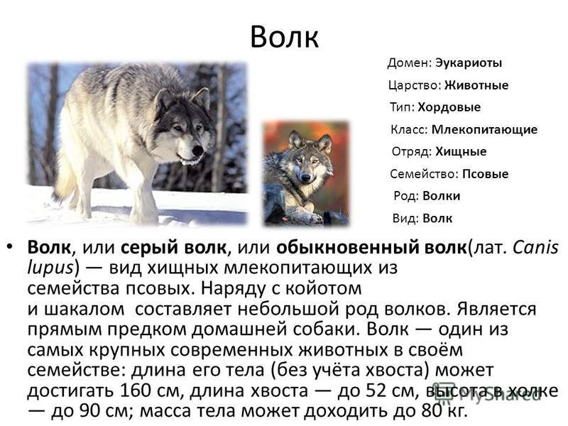 Волк Волк, или серый волк, или обыкновенный волк(лат. Canis lupus) вид хищных млекопитающих из семейства псовых. Наряду с койотом и шакалом составляет небольшой род волков. Является прямым предком домашней собаки. Волк один из самых крупных современн