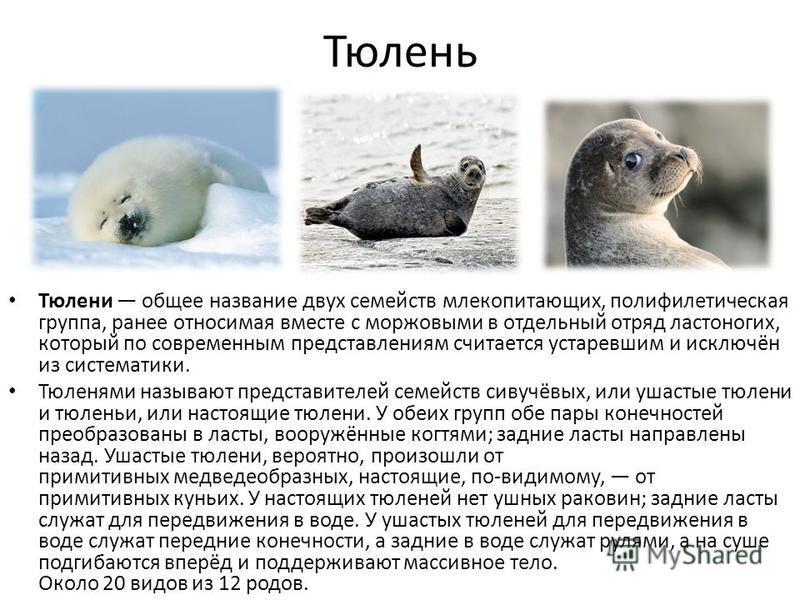 Тюлень Тюлени общее название двух семейств млекопитающих, полифилетическая группа, ранее относимая вместе с моржовыми в отдельный отряд ластоногих, который по современным представлениям считается устаревшим и исключён из систематики. Тюленями называю
