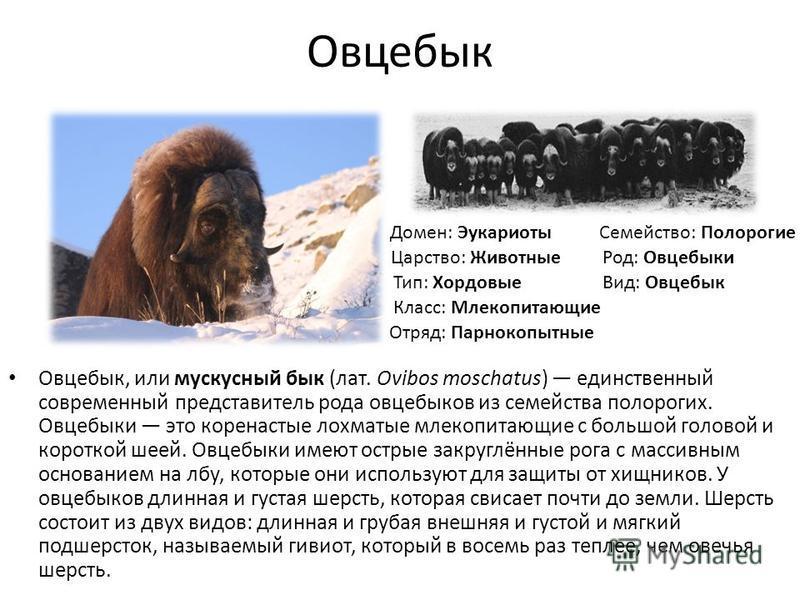Овцебык Овцебык, или мускусный бык (лат. Ovibos moschatus) единственный современный представитель рода овцебыков из семейства полорогих. Овцебыки это коренастые лохматые млекопитающие с большой головой и короткой шеей. Овцебыки имеют острые закруглён