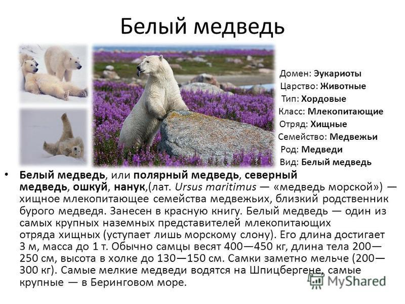 Белый медведь Белый медведь, или полярный медведь, северный медведь, ушкуй, наук,(лат. Ursus maritimus «медведь морской») хищное млекопитающее семейства медвежьих, близкий родственник бурого медведя. Занесен в красную книгу. Белый медведь один из сам