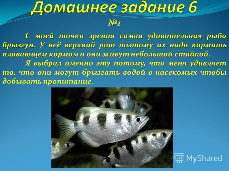 1 С моей точки зрения самая удивительная рыба брызгун. У неё верхний рот поэтому их надо кормить плавающем кормом и они живут небольшой стайкой. Я выбрал именно эту потому, что меня удивляет то, что они могут брызгать водой в насекомых чтобы добывать