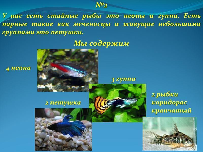 2 У нас есть стайные рыбы это неоны и гуппи. Есть парные такие как меченосцы и живущие небольшими группами это петушки. 4 неона 2 рыбки коридорррас крапчатый 2 петушка 3 гуппи Мы содержим