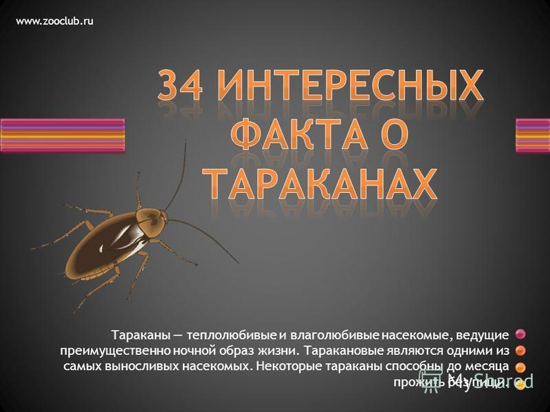 Тараканы теплолюбивые и влаголюбивые насекомые, ведущие преимущественно ночной образ жизни. Таракановые являются одними из самых выносливых насекомых. Некоторые тараканы способны до месяца прожить без пищи. www.zooclub.ru