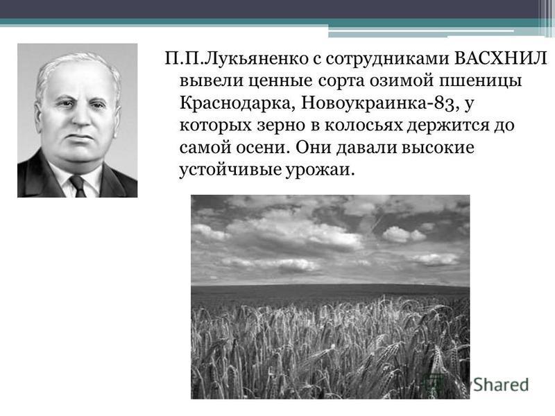 П.П.Лукьяненко с сотрудниками ВАСХНИЛ вывели ценные сорта озимой пшеницы Краснодарка, Новоукраинка-83, у которых зерно в колосьях держится до самой осени. Они давали высокие устойчивые урожаи.