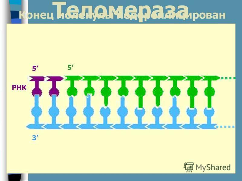 РНК 3 5 5 Конец молекулы недореплицирован Теломераза