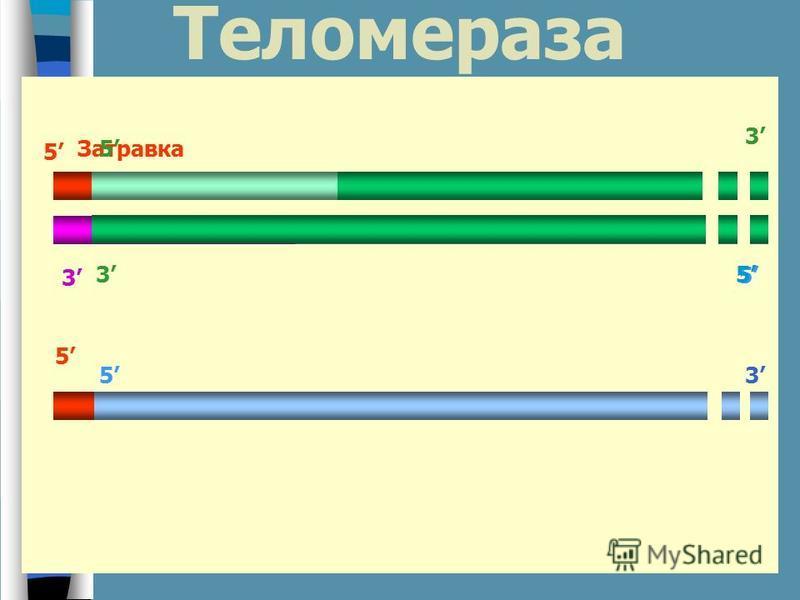 Теломераза 3 5 Затравка 5 3 5 5 3 3 5 5