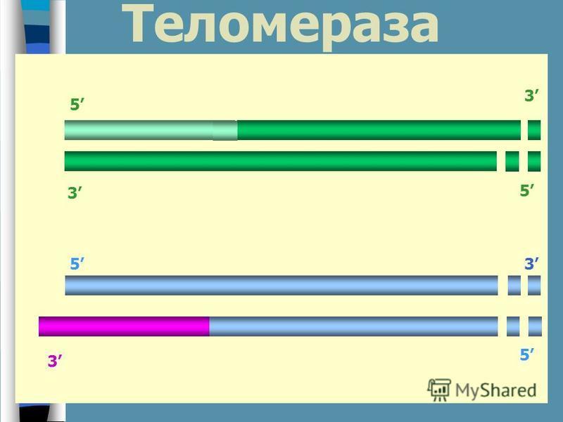 Теломераза 3 5 3 3 5 5 5 3