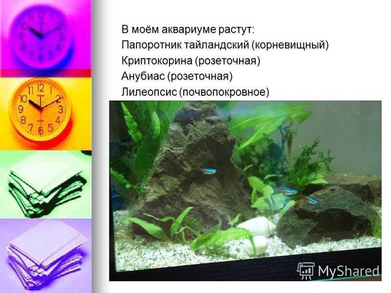 В моём аквариуме растут: Папоротник таиландский (корневищный) Криптокорина (розеточная) Анубиас (розеточная) Лилеопсис (почвопокровное)