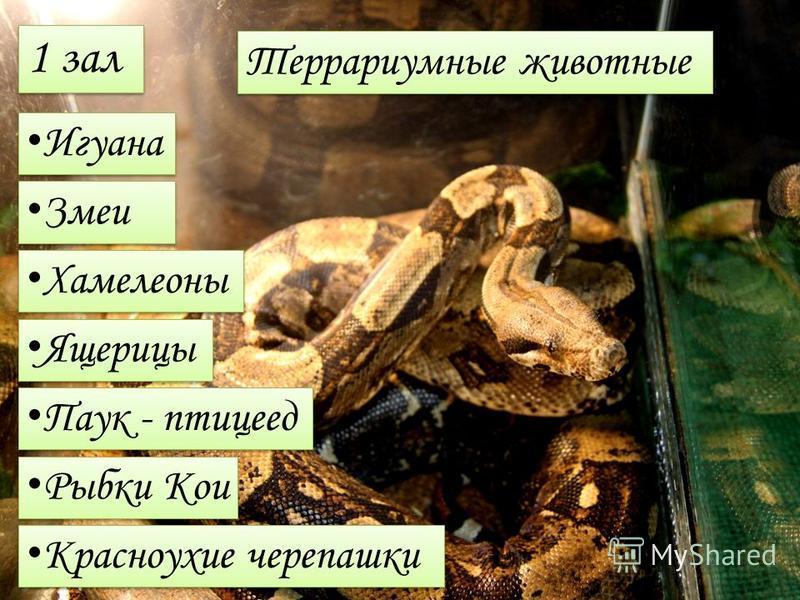 1 зал Террариумные животные Игуана Змеи Хамелеоны Ящерицы Паук - птицеед Рыбки Кои Красноухие черепашки