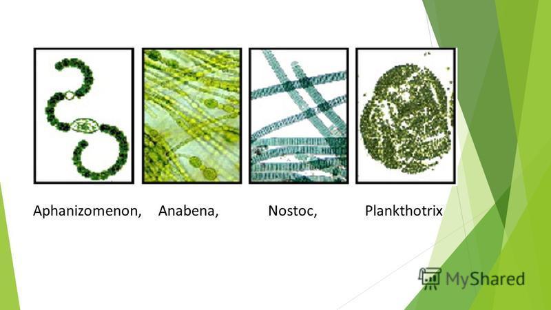 Aphanizomenon, Anabena, Nostoc, Plankthotrix