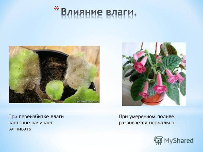 При переизбытке влаги растение начинает загнивать. При умеренном поливе, развивается нормально.