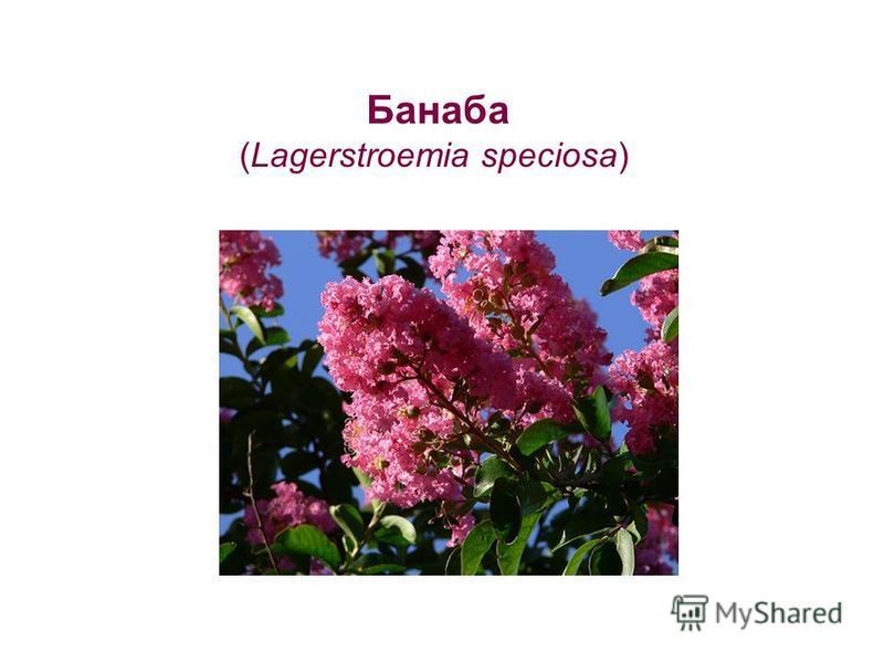 Банаба (Lagerstroemia speciosa)