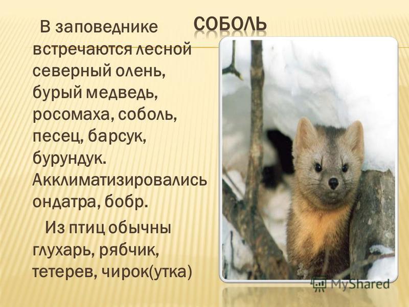 В заповеднике встречаются лесной северный олень, бурый медведь, росомаха, соболь, песец, барсук, бурундук. Акклиматизировались ондатра, бобр. Из птиц обычны глухарь, рябчик, тетерев, чирок(утка)