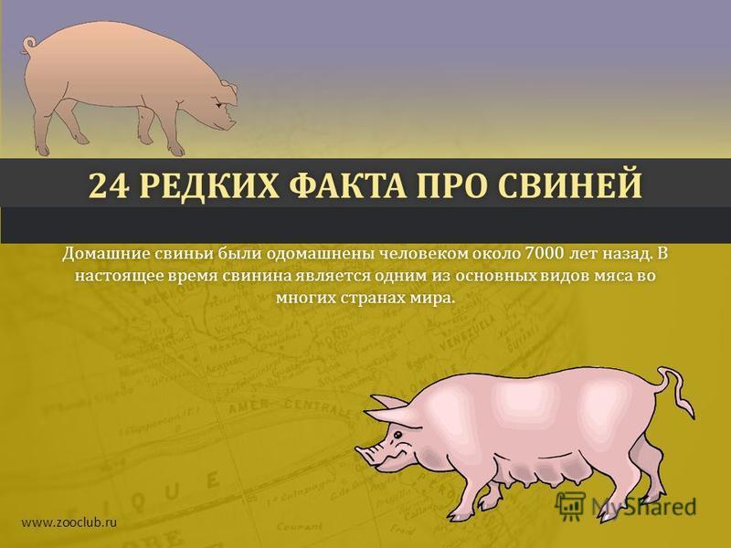 24 РЕДКИХ ФАКТА ПРО СВИНЕЙ24 РЕДКИХ ФАКТА ПРО СВИНЕЙ Домашние свиньи были одомашнены человеком около 7000 лет назад. В настоящее время свинина является одним из основных видов мяса во многих странах мира. www.zooclub.ru