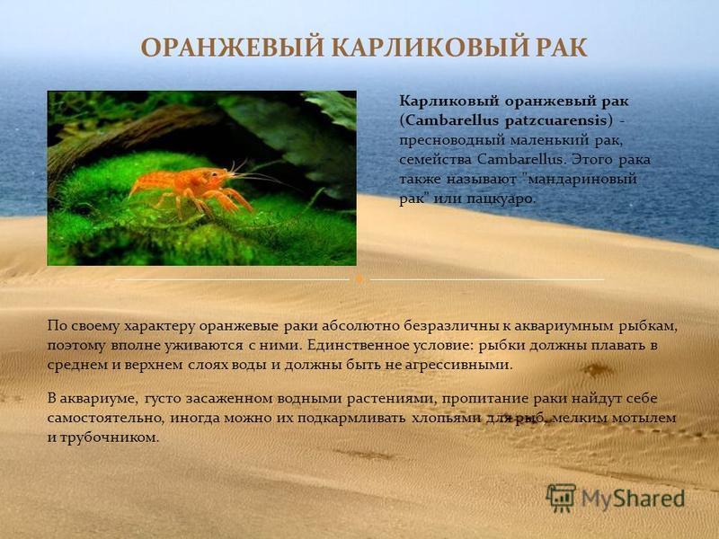 ОРАНЖЕВЫЙ КАРЛИКОВЫЙ РАК Карликовый оранжевый рак (Cambarellus patzcuarensis) - пресноводный маленький рак, семейства Cambarellus. Этого рака также называют