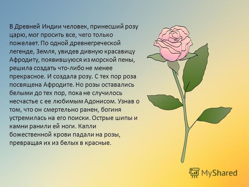 В Древней Индии человек, принесший розу царю, мог просить все, чего только пожелает. По одной древнегреческой легенде, Земля, увидев дивную красавицу Афродиту, появившуюся из морской пены, решила создать что-либо не менее прекрасное. И создала розу.