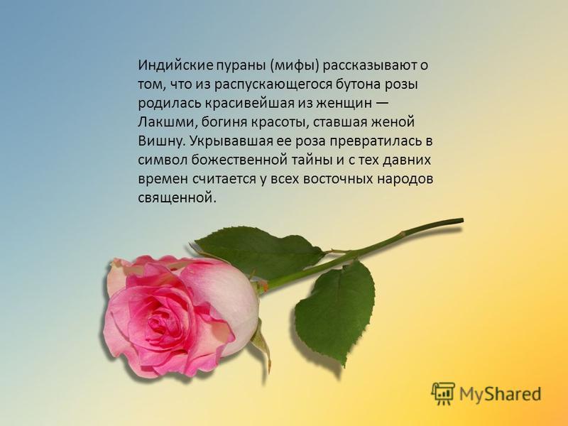 Индийские параны (мифы) рассказывают о том, что из распускающегося бутона розы родилась красивейшая из женщин Лакшми, богиня красоты, ставшая женой Вишну. Укрывавшая ее роза превратилась в символ божественной тайны и с тех давних времен считается у в