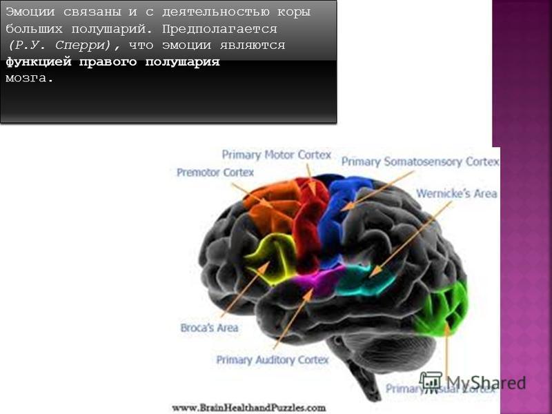 Эмоции связаны и с деятельностью коры больших полушарий. Предполагается (Р.У. Сперри), что эмоции являются функцией правого полушария мозга. Эмоции связаны и с деятельностью коры больших полушарий. Предполагается (Р.У. Сперри), что эмоции являются фу