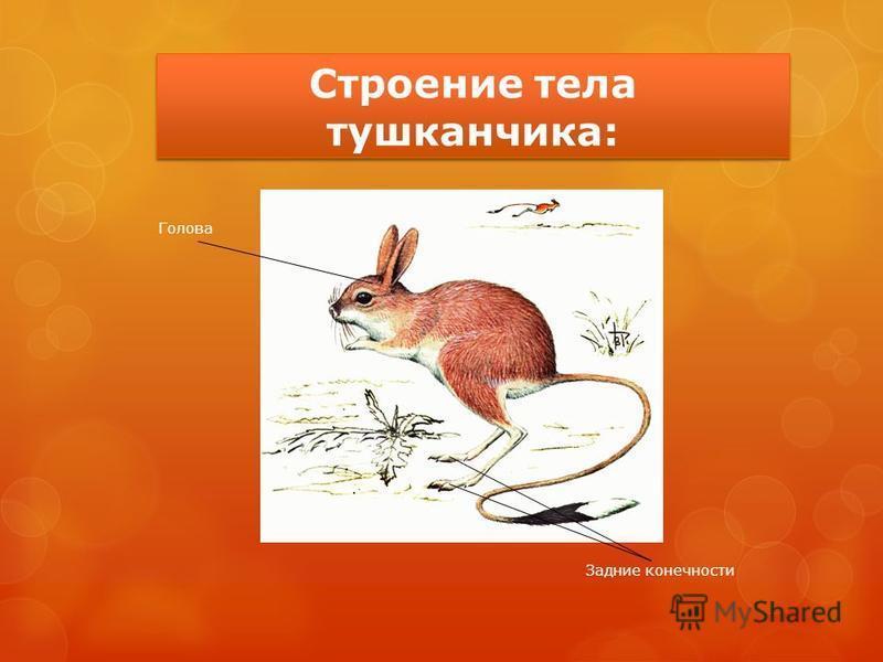 Строение тела тушканчика: Голова Задние конечности