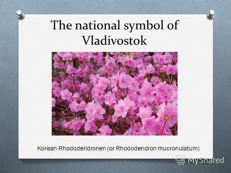 The national symbol of Vladivostok Korean Rhododendronen (or Rhododendron mucronulatum)