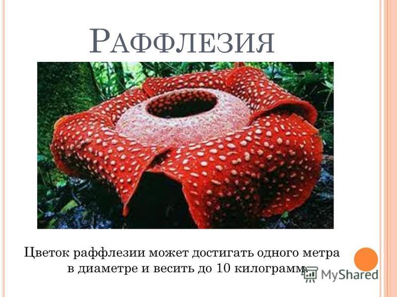Р АФФЛЕЗИЯ Цветок раффлезии может достигать одного метра в диаметре и весить до 10 килограмм.