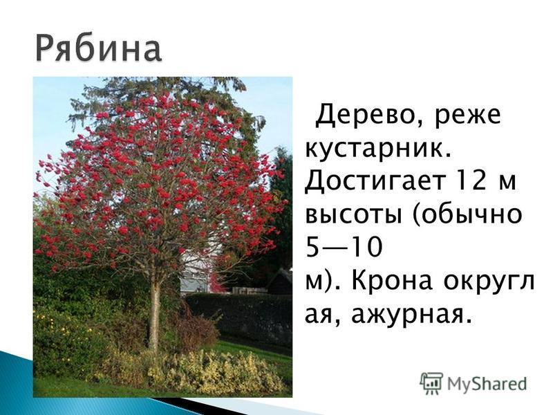 Дерево, реже кустарник. Достигает 12 м высоты (обычно 510 м). Крона округлая, ажурная.