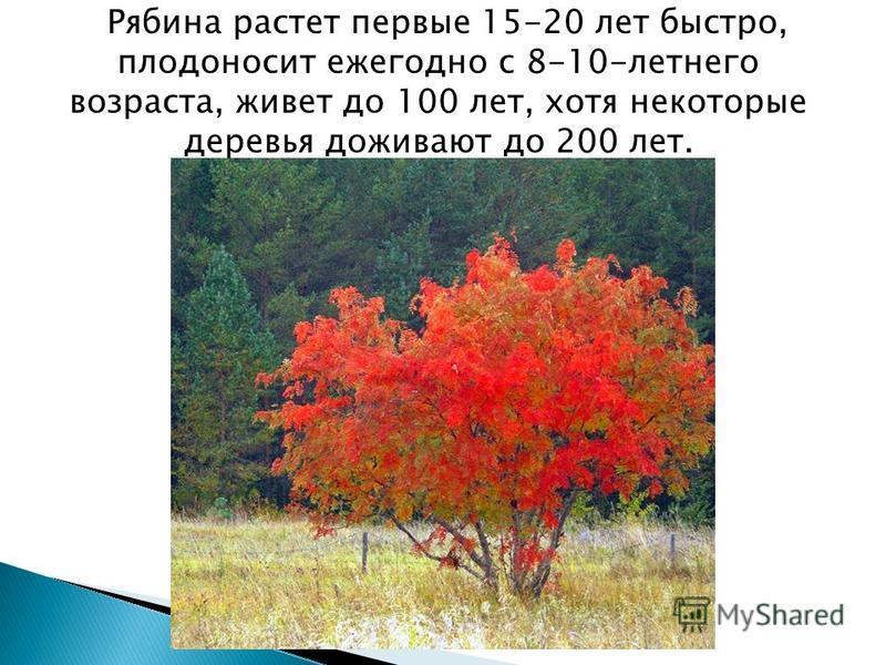 Рябина растет первые 15-20 лет быстро, плодоносит ежегодно с 8-10-летнего возраста, живет до 100 лет, хотя некоторые деревья доживают до 200 лет.