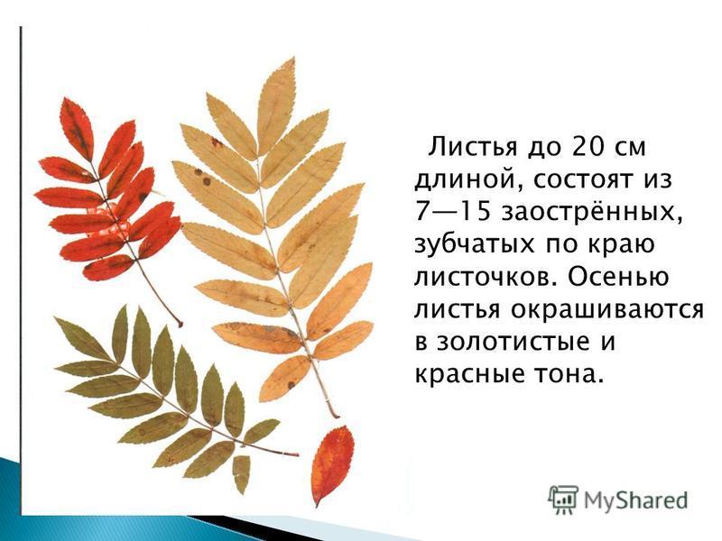 Листья до 20 см длиной, состоят из 715 заострённых, зубчатых по краю листочков. Осенью листья окрашиваются в золотистые и красные тона.